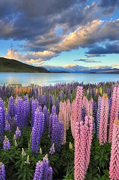 Lake Tekapo is fed by glacier runoff, which helps transport silts that give the lake its special color and enable the shore to grow its unique lupines. Click through to see 20 INCREDIBLE landscapes you can only find in New Zealand!