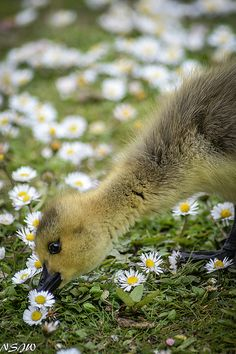 """"""" Smelling the daisies by NSJW photos on Flickr. """""""