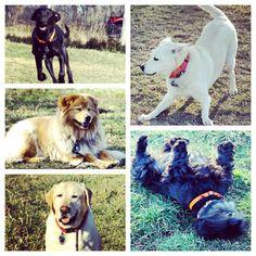 Dogs being dogs! #evasplaypupsPA #dogs #dogscamp #doggievacays #playtime #sillypooches #smilingdogs #dogsinnature #runfree #dogsofinstagram #chowsofinstagram #labsofinstagram #scottiesofinstagram #grassstains #petportraits #badassbk #adoptdontshop #rescuedog #autumn #sweaterweather #endlessmountains #mountpleasant #PA #pennsylvania