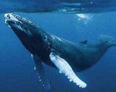 baleine_a_bosse. Whale Song, Whale Art, Especie Animal, Mundo Animal, Orcas, Festival Photo, The Blue Planet, Wale, Rare Animals