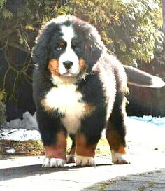 Bernese Mountain Dog. Awww just look at this little fella