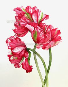 Red parrot tulips is a print of my original watercolor painting. This is an archival fine art giclee print of my original watercolor painting. Watercolor Red, Watercolor Flowers, Watercolor Paintings, Botanical Illustration, Botanical Prints, Flower Prints, Flower Art, Art Flowers, Art Mural Floral
