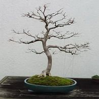 Bonsai Tree Species List of Indoor Species by Ma-Ke Bonsai