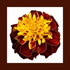 """A compact French marigold with 2"""" dark maroon and golden yellow flowers. The striking bicolor blooms top 10- to 12-inch-tall plants. Best of all, mom will have flowers eight weeks from the time she sows the seeds until frost."""