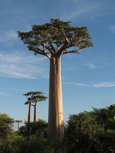Baobab más grande (Adansonia grandidieri)