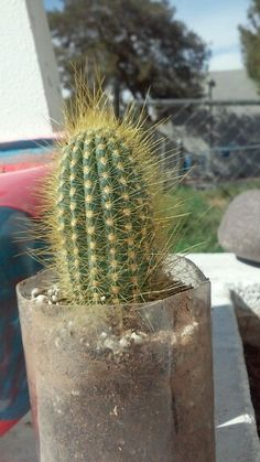 My mini cactis named Gallifrey! He has it out for flies...ive seen many get pierced by his needles..