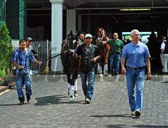 Trainer Todd Pletcher leads Vinceremos and Danza to the paddock for schooling... © 2014 Rick Samuels/The Blood-Horse