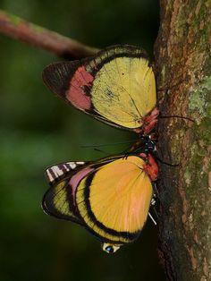 Batesia hypochlora Butterflies