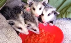 Daily Cute: Baby Opossums Eating Watermelon-video