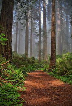 ✯ Path Thru the Redwoods