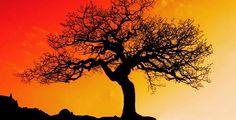 Die Moringa oleifera ist ein gigantischer wetterbeständiger Baum. Er besitzt unglaubliche Heilkräfte und überragt den Nährstoffgehalt vieler herkömmlicher Lebensmittel. Die Moringa oleifera ist vielseitig zu verwenden und mit ihren Samen in der Lage, verunreinigtes Wasser zu säubern und unangenehme Körpergerüche zu beseitigen. http://superfood-gesund.de/moringa/