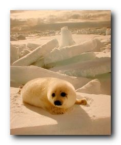 Absolutely marvelous! This wall poster adds a timeless beauty to any room in your home. This poster will liven up any room and will be a perfect addition to your home. This poster depicts the image of a cute Harp seal sitting in a snow field looking very adorable and cute which is sure to grab lot of attention. You will love this poster at every moment you look at it. It goes well all décor style and looks great as a part of your home.