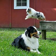 Australian Shepherd Photo of the Month — Photo: Amanda Warrington, Aussies: Charlie and Danny - My Doggy Is Delightful Aussie Shepherd, Australian Shepherd Puppies, Aussie Puppies, Cute Puppies, Cute Dogs, Dogs And Puppies, Doggies, Teacup Puppies, Corgi Puppies
