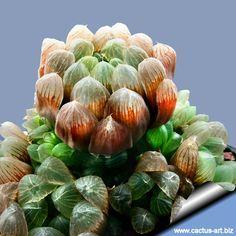 Haworthia cooperi var.obtusa