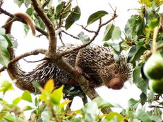 And now they'll make a good conversation starter because a new porcupine species has been identified in Brazil. Biologists Anderson Feijó and Alfredo Langguth of the Federal University of Paraíba identified Coendou baturitensis, or the Baturite porcupine, in a study published in Revista Nordestina de Biologia.  The habitat of the not-so-cuddly new creature is the Brejos de Altitude forests in the mountainous Baturite Range, which is located in the Brazilian state of Ceará.