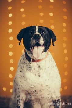 02/06/16 SL~~~01/04/16 SL~~~12/4/15sl***B.G. is a beautiful senior Dalmatian/Pointer Mix looking for a new forever home in Portland, OR! See her page for adoption information!