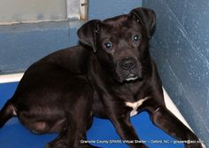 01/01/15-Rio~IM1353-15~Available for Adoption or 501c3 Rescue~ Lab Mix, Adult ~1-3 years old, Male, Intake Date: 12/10/2014, Stray, Brought In, Nylon Black Collar, 46.0 pounds. Granville County Animal Shelter 5650 Cornwall Road OXFORD, NC 27565 ~ 919-693-6749 ~ shelter@granvillecounty.org ~ gcspare@aol.com ~ Shelter Hours: Monday-Friday 12-4:30pm and Saturday 11-2pm. TO BECOME A RESCUE PARTNER CLICK HERE: http://www.emailmeform.com/builder/form/wbc9DdarF48dl0HZ0i