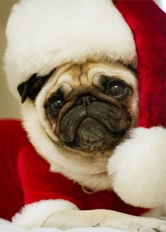 Santa Pug is coming to town