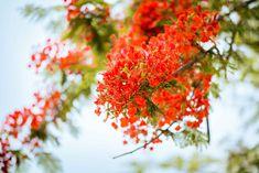 Tổng hợp những bài văn tả cây phượng lớp 5 hay nhất. Trong sân trường em có trồng một cây hoa phượng. Thân cây không to và nó cũng không cao lắm. Mới hôm qua thôi cây phượng còn đang mặc áo xanh mà hôm nay nó đã khoác lên mình một tấm áo đỏ. Vậy là mùa hè đã về rồi.