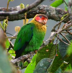 Rose-faced Parrot is found in subtropical or tropical moist lowland forests and subtropical or tropical moist montane forests of Colombia and Ecuador.