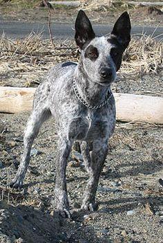 Stumpy Tail Australian Cattle Dog   Australian Stumpy Tail Cattle Dog   Pet breeds