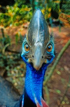 Cassowary ~ This screwball, mean bird inspires me to stay away and just go to Vegas and see the Blue Man Group! Bird Pictures, Funny Animal Pictures, Angry Birds, Pet Birds, Cassowary Bird, Ostriches, Australian Birds, Funny Birds, Rare Birds