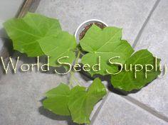 Jatropha Curcas (Psychic Nut)- 500 seeds