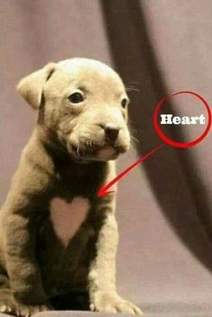 #pitbulllove #pitbulls #pitbull