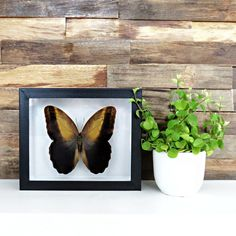 Caligo memnon // owl butterfly // insect museum box // shadowbox