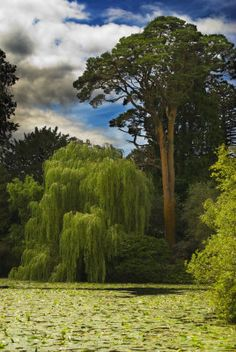 .. now why doesn't our weeping willow look like this...? Altamont Gardens, Carlow, Ireland