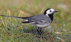 Witte kwikstaart | Vogelbescherming.nl