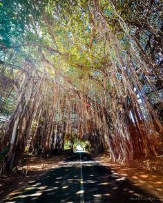 Sunkissed Banyan trees!  #VSCOcam #roamingdodos