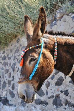 Portrait of a Santorini Mule, looks much happier and healthier than the ones I saw there