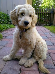 Zoey - My #Goldendoodle puppy