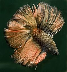 Full Mask Yellow Dragon Betta