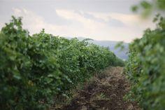 ASPI Winery and Vineyard   Savalan   Azerbaijan Wine   Plant