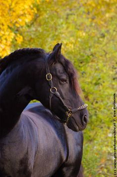 Fresian horse - from Fine Feathered Friesians