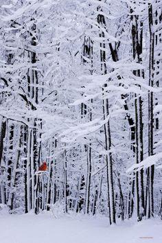 Red Bird amidst the snowy winter forest Snow Scenes Winter Szenen, I Love Winter, Winter Magic, Winter Christmas, Winter White, Snow White, Merry Christmas, Winter Colors, Winter Season