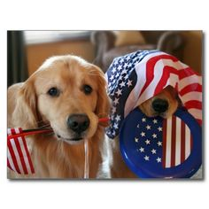 Golden Retriever Independence Day Postcard