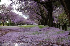 Jacaranda trees are heavenly.  My husband says the flowers are annoyingly slippery.  I don't care.