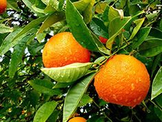 Want to grow a citrus plant? For those of you avoiding citrus plants here is everything you need to know to ensure a healthy tree with plenty of fruit Citrus Trees, Fruit Trees, Fruit Plants, Edible Plants, Edible Garden, Tropical Plants, Garden Seeds, Garden Plants, Organic Gardening