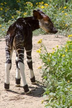The Okapi, Okapia johnstoni, forest Giraffe is a giraffid artiodactyl mammal native to the Ituri Rainforest, located in the Democratic Republic of the Congo, in Africa. Although the okapi bears striped markings reminiscent of zebras, it is most closely related to the giraffe. The animal was brought to prominent European attention by speculation on its existence found in popular press reports covering Henry Morton Stanley's journeys in 1887. Today, about 10,000–20,000 remain in the wild