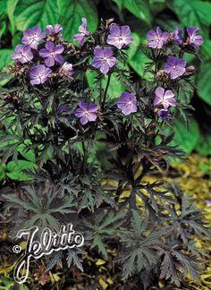 geranium pratense purple haze - Google Search