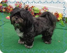 Marietta, GA - Lhasa Apso. Meet GUS, a dog for adoption. http://www.adoptapet.com/pet/16321109-marietta-georgia-lhasa-apso