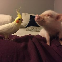 this is my best friend hank acting up with his big sister rockie Cute Baby Pigs, Cute Piglets, Cute Baby Animals, Funny Animals, Teacup Pigs, Pet Pigs, Little Pigs, Cute Animal Pictures, Fur Babies