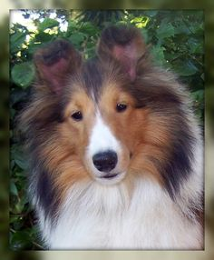 Pictures of Shetland Sheepdog Dog Breed