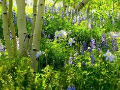 Aspen and Columbine Pure Colorado