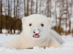 The polar bear cub, Siku