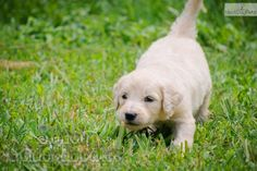 Meet Audrey a cute Goldendoodle puppy who likes to chase whatever moves.