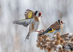 Goldfinches in winter by елена гордеева on 500px